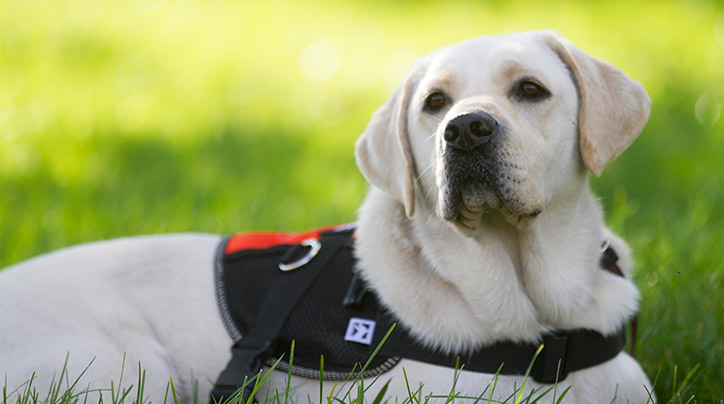 Retrieving Freedom's service dogs lend a paw to people in need